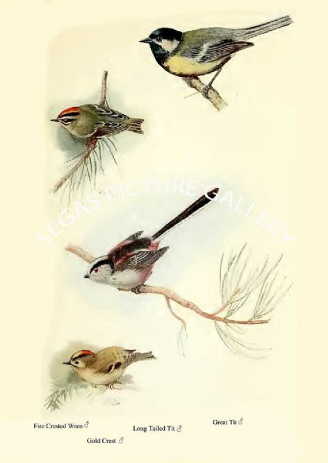 Fine art print of the Fire Crested Wren, Gold Crest, Long Tailed Tit & Great Tit by William Foster (1922)